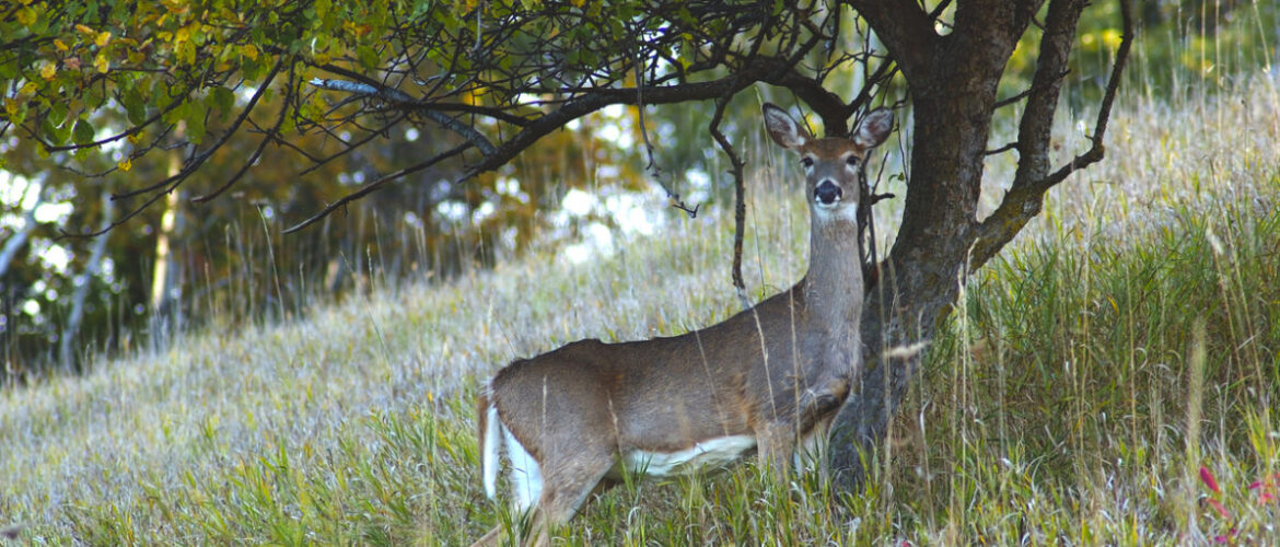 What you Should Know when Growing Persimmon Trees for Deer